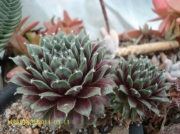 Sempervivum 'Ann Christy'