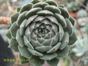 Sempervivum 'Belladonna'